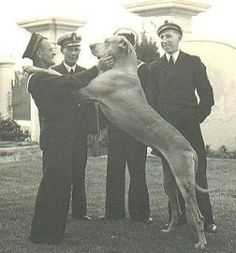 He was a Great Dane who between 1939 and 1944 served at HMS Afrikander, a Royal Navy shore establishment in Simon's Town, South Africa. He died in 1944 at the age of seven years and was buried with full military honors. Military Honors, Military Working Dogs, Save A Dog, Group Of Dogs, Cape Town South Africa, Most Beautiful Cities, Historical Pictures, Royal Navy, African History