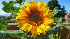 The first sunflower to open, planted by  my feathered friends ☺ | by Sharon B Mott