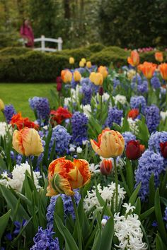 Spring color, if going with high contrast: Orange parrot tulips, blue & white hyacinths, Keukenhof Gardens, The Netherlands. White Hyacinth, Jardin Decor, Parrot Tulips, Spring Bulbs, My Secret Garden, Dream Garden, Spring Flowers, Garden Inspiration, Beautiful Gardens
