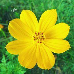 #natureloversgallery #naturelovers #rainbow_petals #yellow_flowers #blooming_petals #Flowers #flowers_magazin #_flowerswolrd_ #IG_Flowers by rain_colors_store