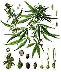 """""""Czy marihuana jest z konopi? Chyba nie…"""" – powiedział kiedyś ówczesny premier. Narkotyk czy roślina lecznicza? Np. olej z konopi ma właściwości lecznicze."""