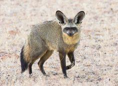 Bat Eared Fox, Kangaroo, Cute Pictures, Animals, Animales, Animaux, Cute Pics, Kangaroos, Animais