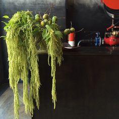 Longest amaranthus