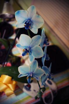 """RF Orchids """"Blue Bird"""""""
