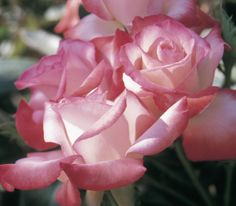 Large cream blooms gradually blush with coral and pink tones on this Hybrid Tea rose. Plants have strong disease resistance and flower throughout the growing season. Long stems make picking this rose for bouquets a must.
