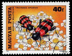 Trichodes apiarius, Hungary, 1980
