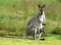 Mamma canguro con il piccolo nel marsupio
