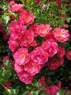 'Flower Carpet Pink Supreme' | Shrub Rose. Reinhard Noack, 2007 | © tesselaarusa