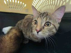 LAUDIE  is available for adoption from @CUHumane #Urbana #Champaign #IL www.cuhumane.org PINNED 12/7/15 (CHAMPAIGN COUNTY HUMANE SOCIETY) Please click on the PET HARBOR link to see full BIO. Thanks.