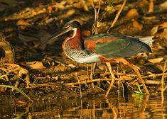 Foto garça-da-mata (Agamia agami) por Ciro Albano | Wiki Aves - A Enciclopédia das Aves do Brasil