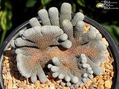 Epithelantha micromeris cristata