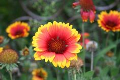 Gaillardia ...All details explained about growing this esy perennial. Great for beggeners like me.