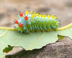 This has got to be the cutest and most beautiful bug in all the world! Just look at the lesson in colour from mother nature. This is a Cecropia Moth Caterpillar. Nature at its spectacular best! I wonder where it is found? Beautiful Bugs, Amazing Nature, Beautiful Creatures, Animals Beautiful, Unusual Animals, Colorful Animals, Magical Creatures, Cecropia Moth, Cool Bugs