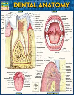 DENTAL ANATOMY Laminated Reference Guide $3.95 Loaded with ...