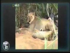 Leopard vs 4 Lions Fight! Leopard DESTROYS THE 4 lions. LOOK! LOOK!