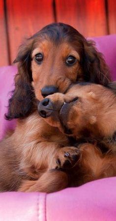 Close...this is love #Dachshund ZEUS!!!!!!
