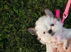 Malti-tzu - like my Milo! Seriously the cutest breeds ever. LOVE SHIH TZU?? visit our website now! Love Your Dog? Visit our website NOW!