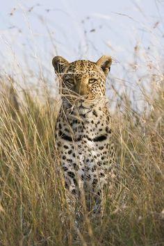 Leopard Stalking in the Masai Mara, Kenya by  #wildographer Elliott Neep