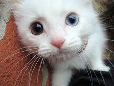 Heterochromia Cutie