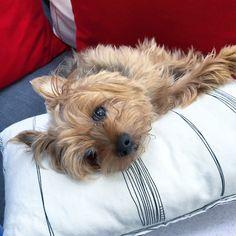 Nano Yorkshire Terrier   Pawshake