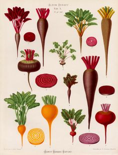 A Chromolithograph plate of Beet varieties taken from the Album Benary. The Album contains 28 colour plates in total of vegetable varieties by Ernst Benary which are named in the accompanying page in German, English, French and Russian. Creator: Benary, Ernst (1819-1893). Date: 1876