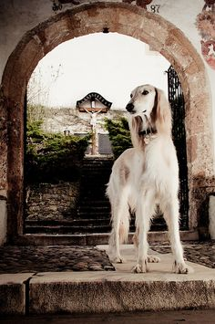 Beautiful image of the Saluki with the image of Jesus on the cross. A breed of antiquity with a symbolic representation of religious antiquity. Fantastic.