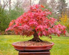 Japanese maple bonsai is an ideal tree for bonsai. A tree with different coloured leaves during different season. Learn how to prune this bonsai tree properly. Bonsai Seeds, Tree Seeds, Bonsai Plants, Acer Bonsai, Pine Bonsai, Pond Plants, Planted Aquarium, Live Aquarium, Red Maple Bonsai