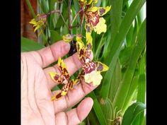ORQUIDEAS - Al fin florecen las Cambrias.Despiste con las etiquetas.