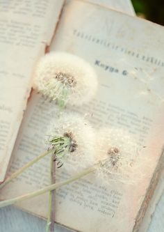 Dandelions - make a wish