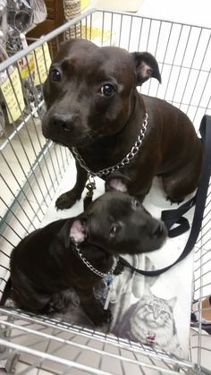 Staffordshire Bull Terrier, Family Dogs, Pit Bulls, Dog Care, Doggies, Cute Dogs, Dog Lovers, Baskets, Puppies