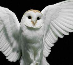 A white owl