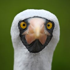 PEEKABOO- Birds like these where ornamented into fabrics with color designs in pre-inca times. These designs were only worn by the Incas or Kings.  Here is a close-up of a Nazca Booby. Can anyone guess where this amazing bird can be seen?