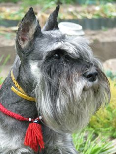 мое сердце- КРОН, such a beautiful Schnauzer, just look at that wonderful beard and sweet expression on his face!!