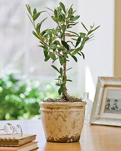 Dwarf Fruit Trees - Growing Citrus Trees, Dwarf Banana Plants Indoors [I've been growing indoor citrus for years now, and I own & have read Growing Tasty Tropical Plants in Any Home, Anywhere. I still learned a few things from this site! Indoor Fruit Trees, Dwarf Fruit Trees, Indoor Plants, Indoor Gardening, Potted Plants, Growing Olive Trees, Growing Herbs, Dwarf Olive Tree, Olive Tree Care