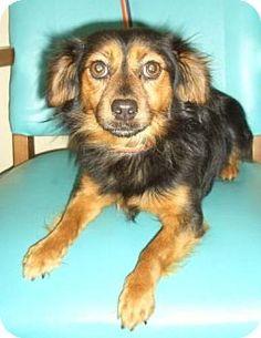 Adopt Bella on Golden retrievers, Schnauzers and Golden