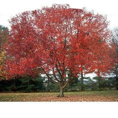 RED SUNSET® MAPLE  An outstanding Red Maple retaining its brilliant red autumn color longer than other varieties. Summer foliage is a bright green with heavy textured leaves. Ultimately reaching 45 to 50 feet by 35 to 40 foot spread.