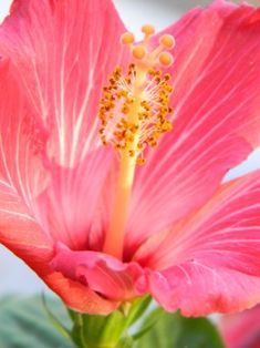 Lovely Hibuscous www.liketosurf.com