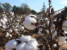 images cotton fields - Google Search