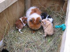 Baby guinea pig!