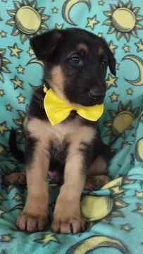 German Shepherd Dog Puppy For Sale In Honey Brook Pa Adn 72003