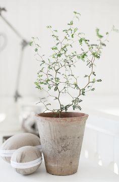 Sophora Prostrata Dvärgkowhai. Sommartid i skugga, vinter i ljus. Skyddas mot brännande sol. Väldränerad näringsrik jord.