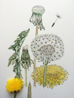 Fresh Baked Bread and Wild Mushrooms! Shading Drawing, Nature Drawing, Dandelion Drawing, Botanical Drawings, Botanical Prints, Natur Tattoos, Illustration Botanique, Floral Drawing, Plant Art