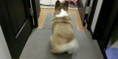 Why are corgi butts so fluffy??