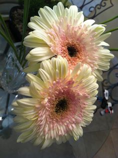 Gerbera L. is a genus of plants in the (daisy family). It was named in honour of Dutch botanist and naturalist Traugott Gerber. Sunflowers And Daisies, Gerber Daisies, Beautiful Flowers, Gerbera Flower, Daisy Love, Flowering Shrubs, Flower Bouquet Wedding, Flower Bouquets, Bridal Bouquets