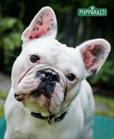 French Bulldog by Melbourne Pet Photographers Pupparazzi    http://www.pupparazzi.com.au/melbourne-pet-photographers-meet-frank/
