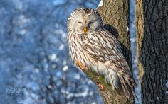 The Ural owl - Photographing birds and animals in the wild.Photographed in winter when the temperature is -25 C.