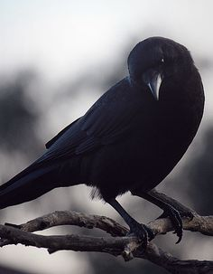 Quoth the raven, `Nevermore. Raven And Wolf, Quoth The Raven, Raven Bird, Black Feathers, Bird Feathers, Munier, Counting Crows, Yennefer Of Vengerberg, Jackdaw