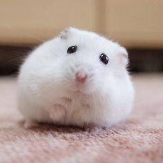 Am I too fat? Robo Dwarf Hamsters, Funny Hamsters, Hamster Pics, Baby Hamster, Super Cute Animals, Cute Little Animals, Cute Animal Memes, Cute Funny Animals, Cute Creatures