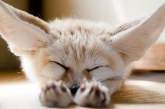 sleeping fennec fox !!