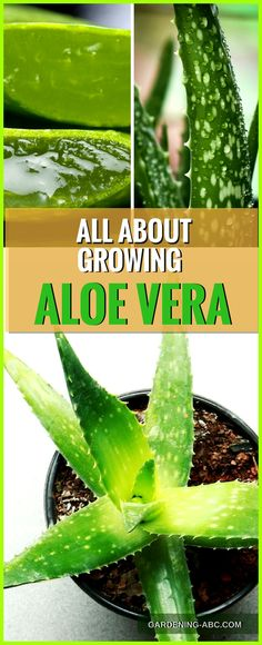 Aloe vera is a very common household herb and is one of the most useful plants in this world. You can grow Aloe vera outdoors as well as indoors. They are an incredibly tolerant houseplant. Here is more on how to grow aloe vera plant in your own home or Succulent Gardening, Garden Plants, Container Gardening, Organic Gardening, House Plants, Gardening Tips, Gardening Magazines, Gardening Supplies, Indoor Herb Gardening